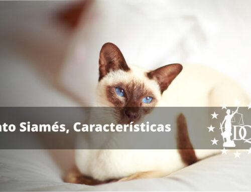 Gato Siamés, Características de la Raza | Curso Auxiliar Veterinaria