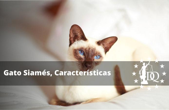 Gato Siamés, Características de la Raza
