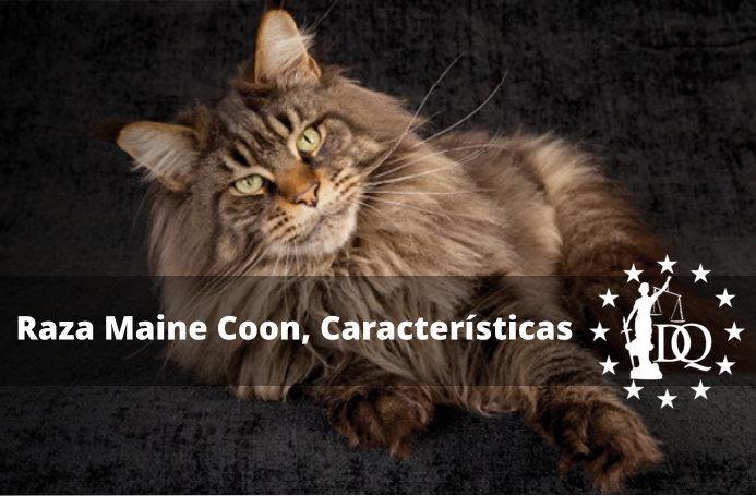 Raza Maine Coon características, precio, peso y tamaño