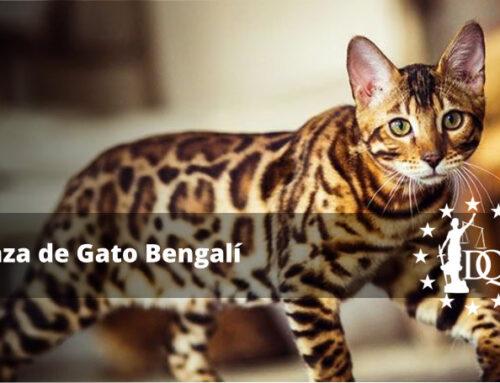 Raza de Gato Bengalí Características, Precio, Tamaño y Peso