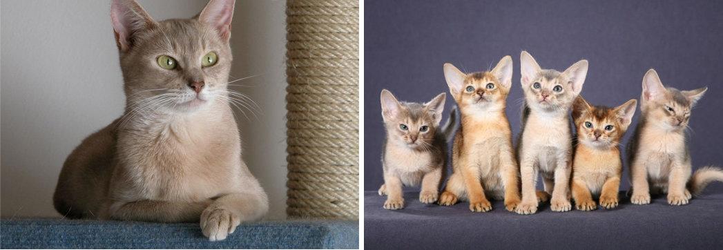 Fotos de Gatos Abisinios