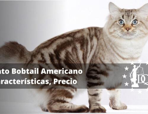 Gato Bobtail Americano Características, Precio | Curso Auxiliar Veterinaria