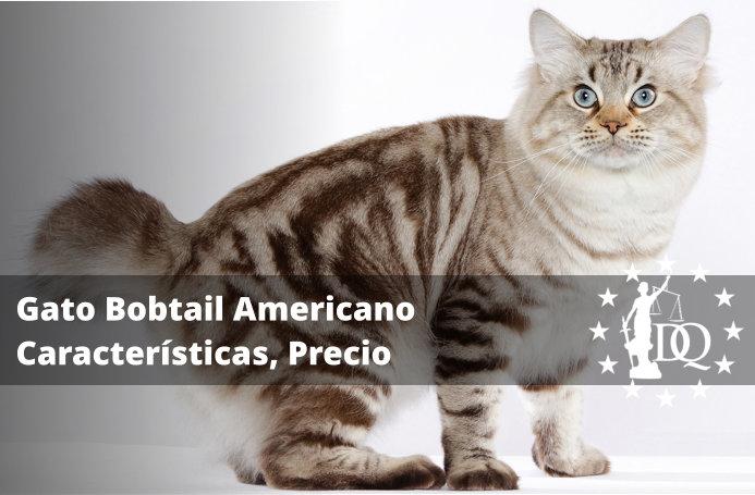 Gato Bobtail Americano Características, Precio